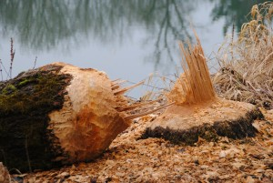 Damage caused by beavers. Probably in the States so a different species, but you get the picture...
