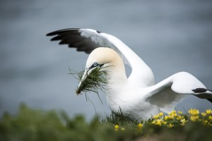 The gannet: could you eighteen a day?