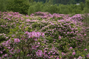 Rhodies have overwhelmed native woods near Lochgoilhead